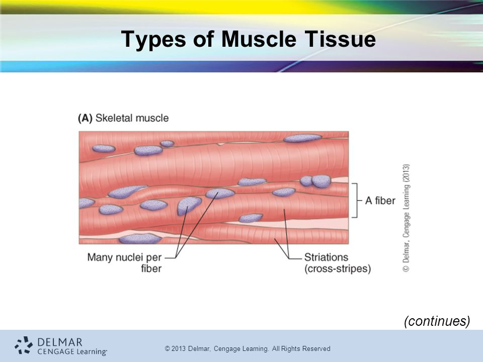 Types of Muscle Tissue (continues)