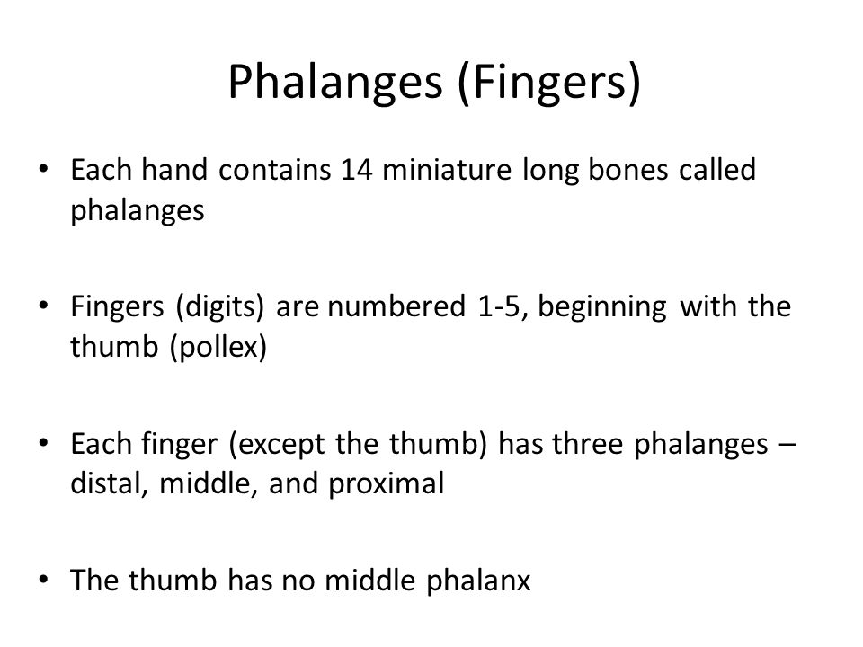 Phalanges (Fingers) Each hand contains 14 miniature long bones called phalanges.