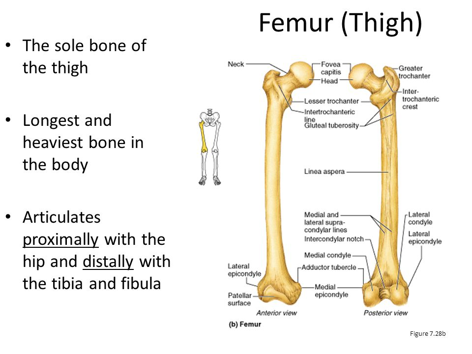 Femur (Thigh) The sole bone of the thigh