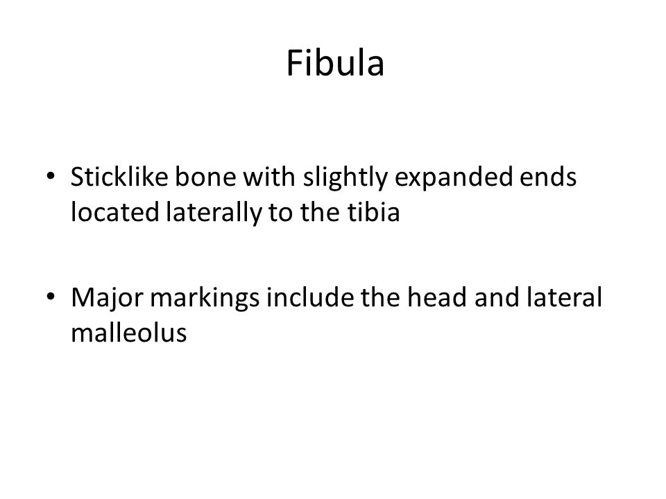Fibula Sticklike bone with slightly expanded ends located laterally to the tibia.