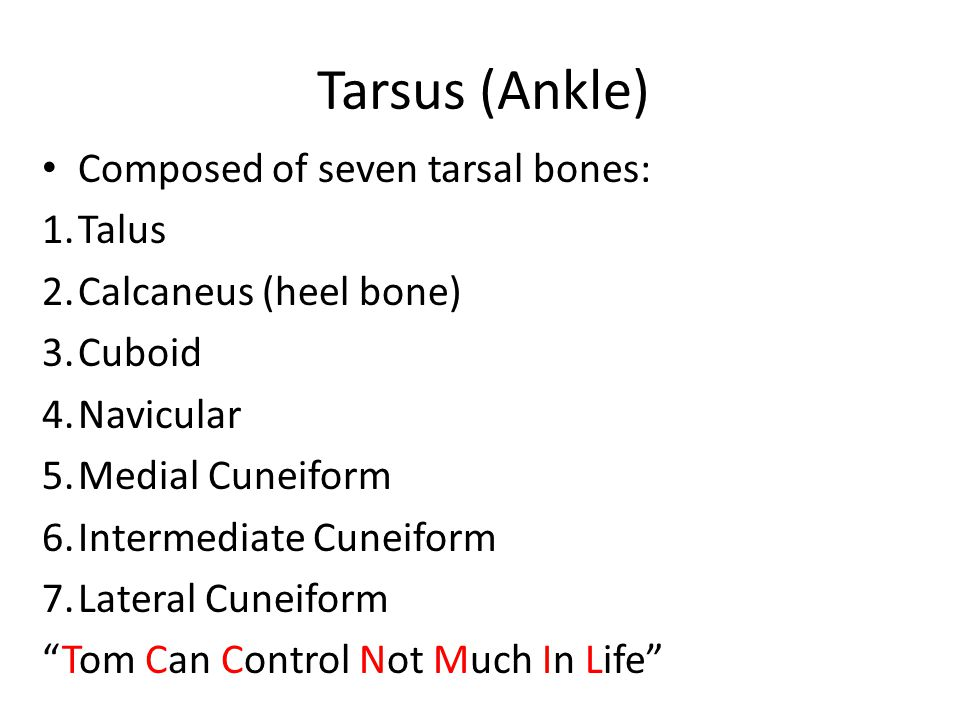 Tarsus (Ankle) Composed of seven tarsal bones: Talus