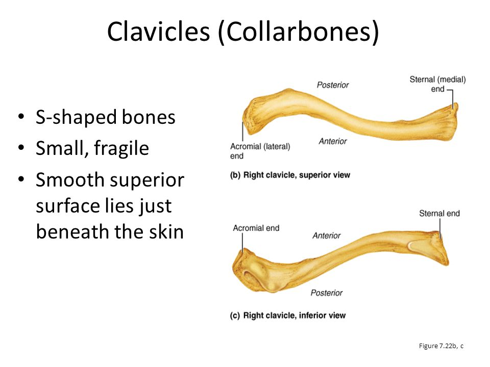 Clavicles (Collarbones)