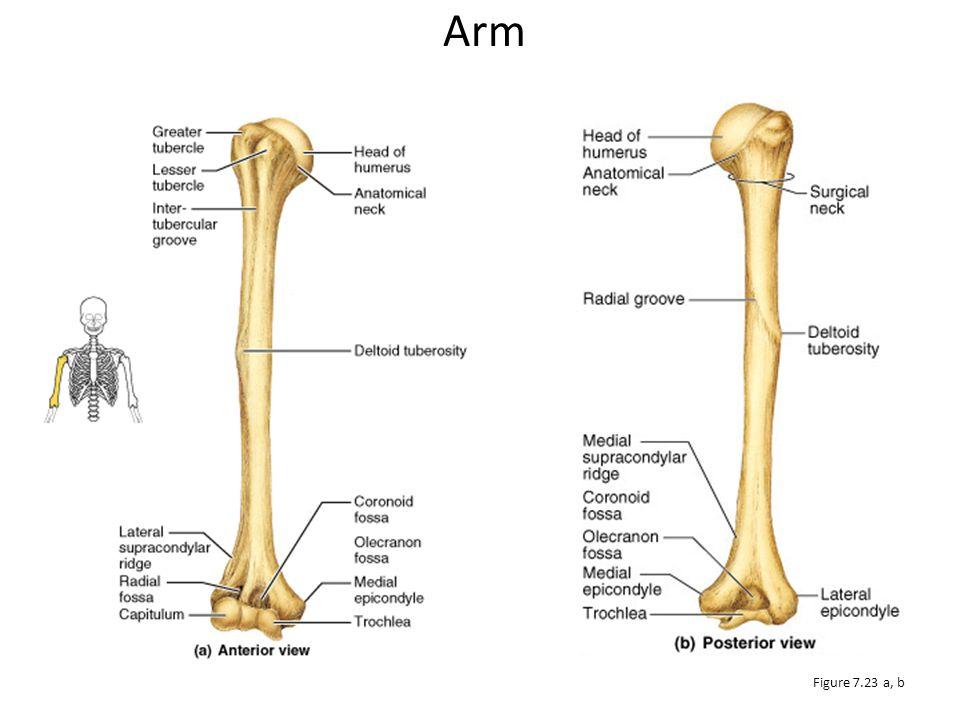 Arm Figure 7.23 a, b