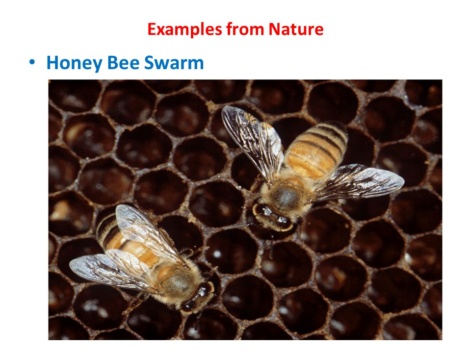 Examples from Nature Honey Bee Swarm