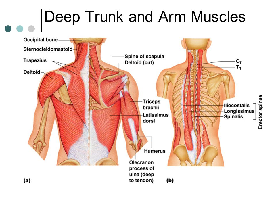 Deep Trunk and Arm Muscles