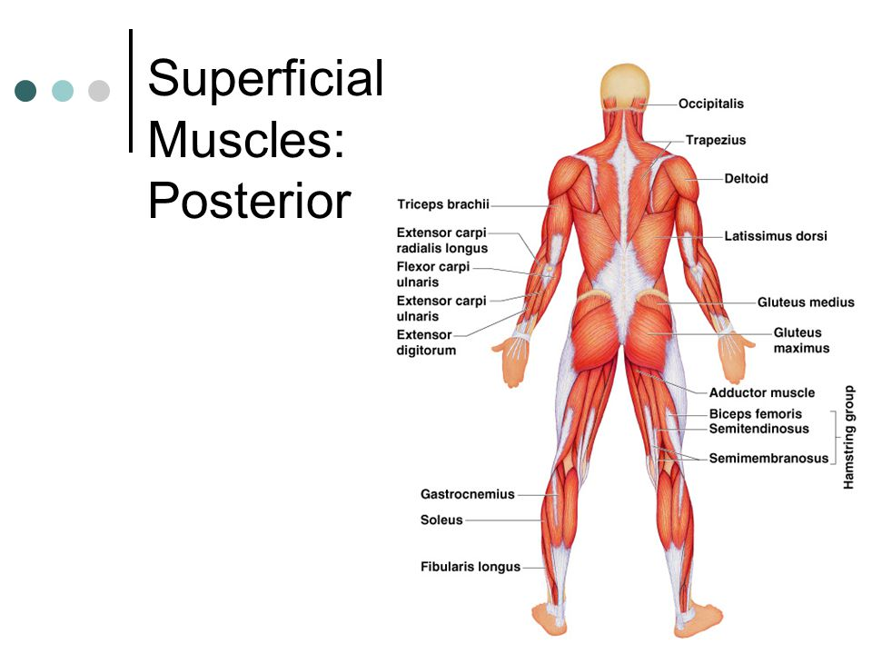 Superficial Muscles: Posterior
