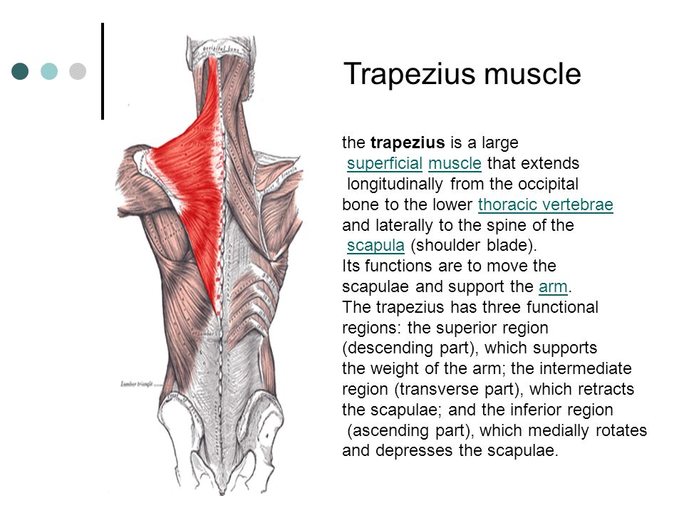 Trapezius muscle the trapezius is a large
