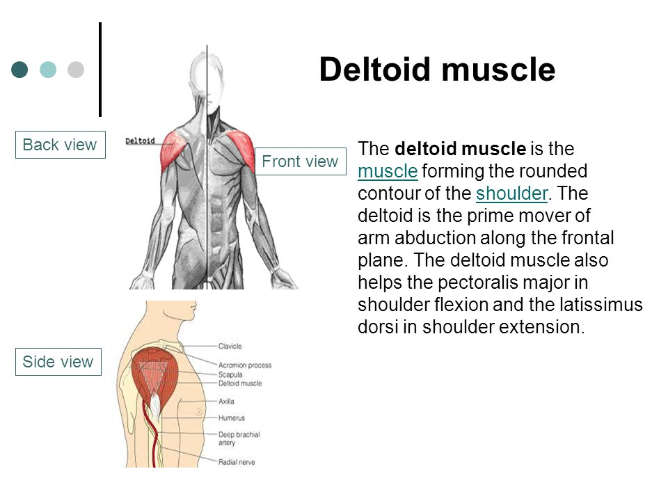 Deltoid muscle The deltoid muscle is the muscle forming the rounded