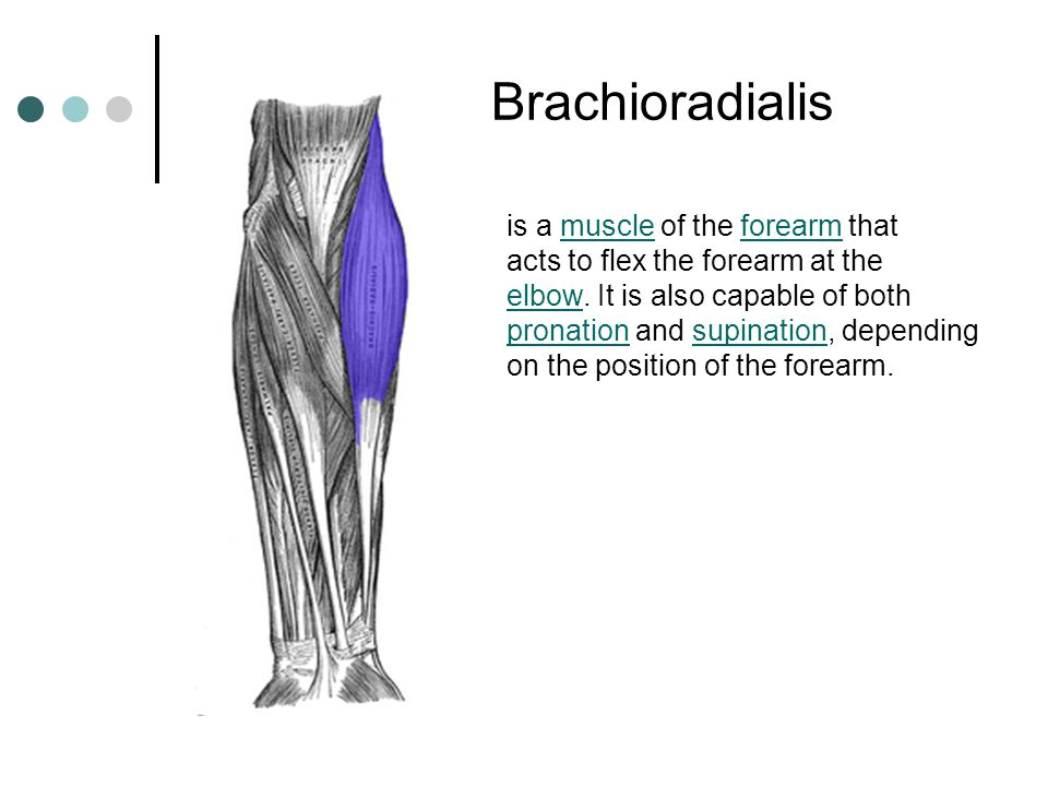 Brachioradialis is a muscle of the forearm that