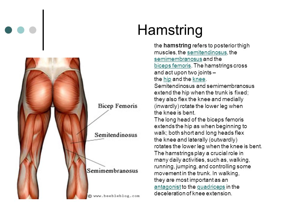 Hamstring the hamstring refers to posterior thigh