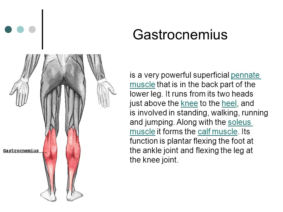 Gastrocnemius is a very powerful superficial pennate