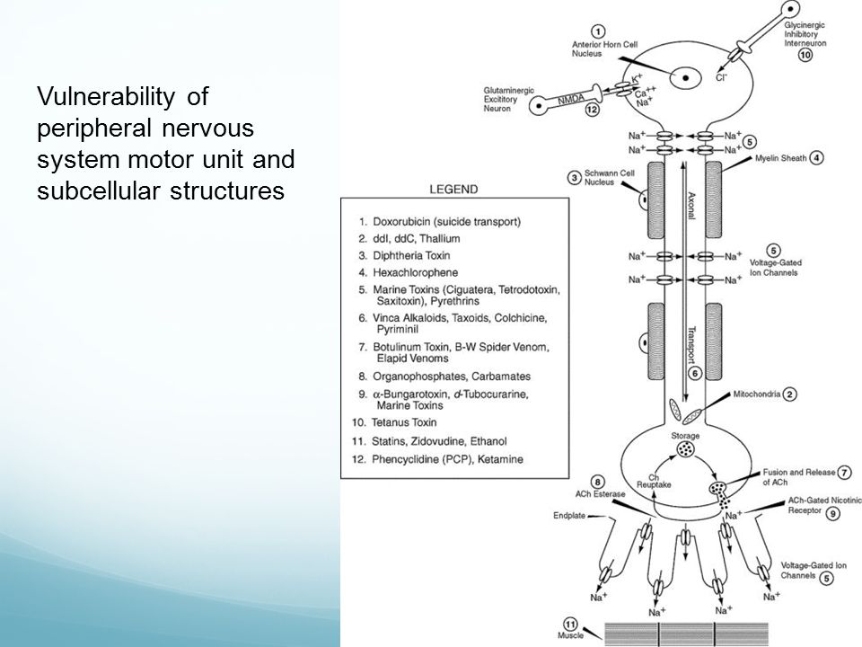 Vulnerability of peripheral nervous system motor unit and subcellular structures