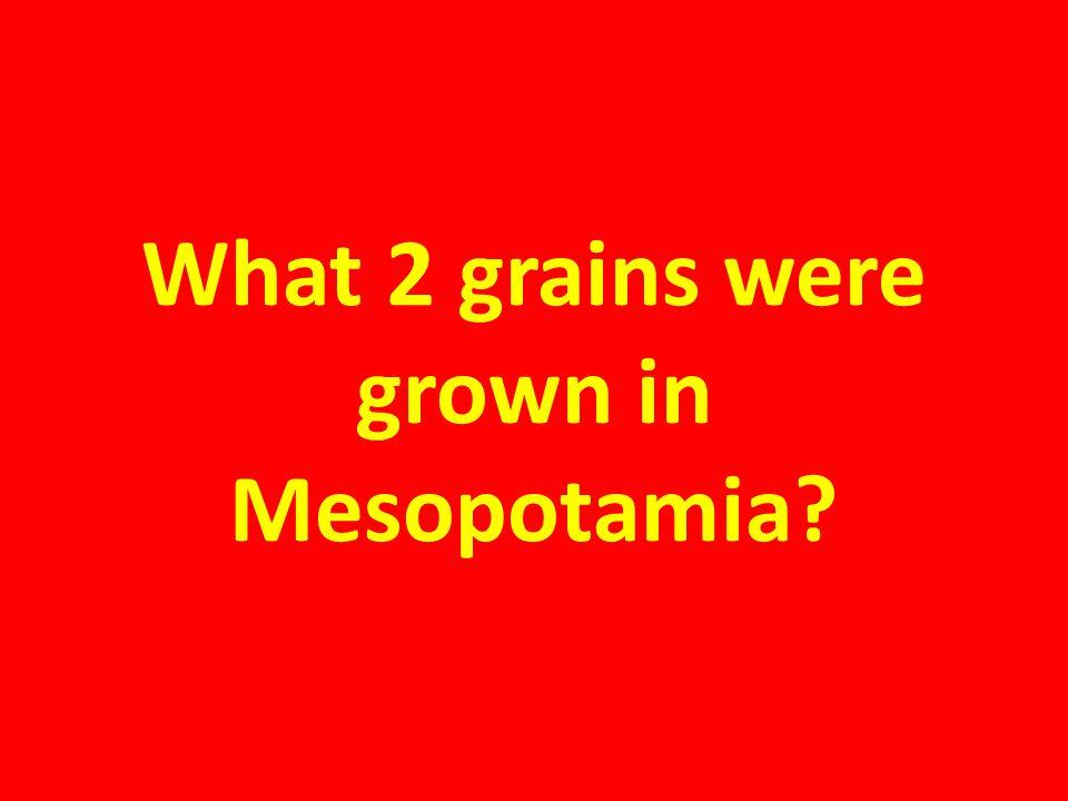 What 2 grains were grown in Mesopotamia