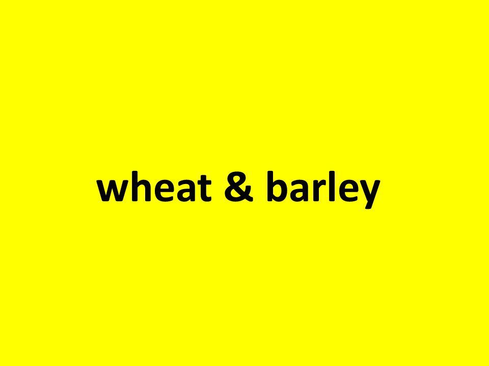 wheat & barley