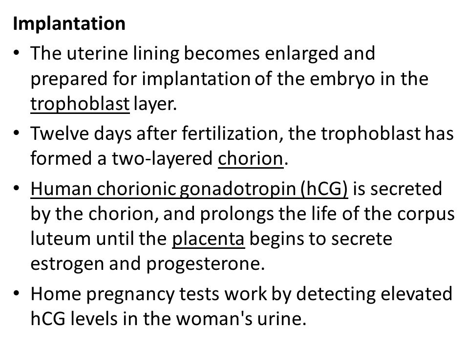 Implantation The uterine lining becomes enlarged and prepared for implantation of the embryo in the trophoblast layer.