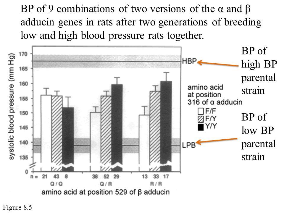 BP of high BP parental strain