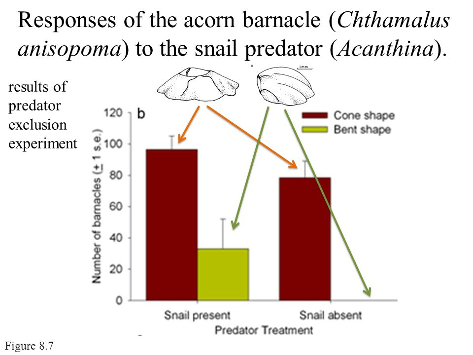 Responses of the acorn barnacle (Chthamalus anisopoma) to the snail predator (Acanthina).