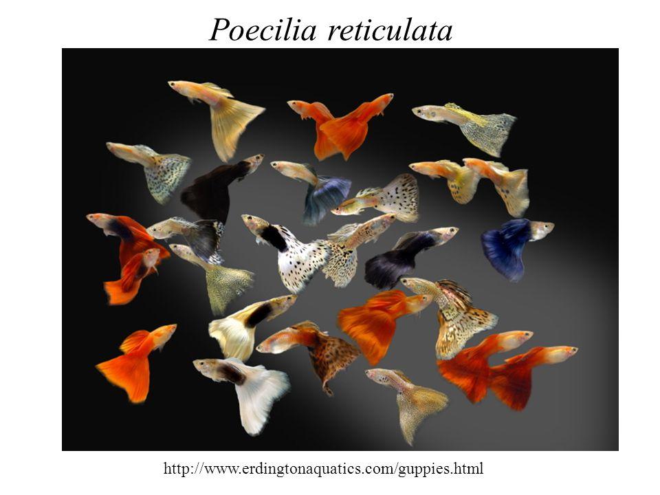 Poecilia reticulata http://www.erdingtonaquatics.com/guppies.html
