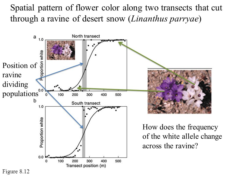 Spatial pattern of flower color along two transects that cut through a ravine of desert snow (Linanthus parryae)