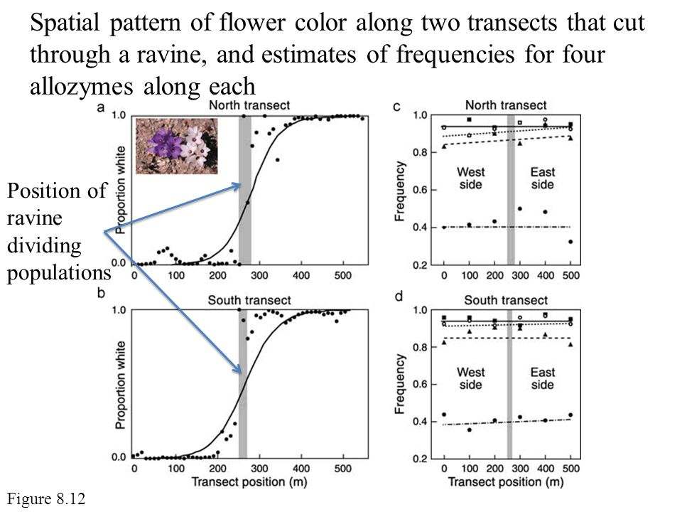 Spatial pattern of flower color along two transects that cut through a ravine, and estimates of frequencies for four allozymes along each