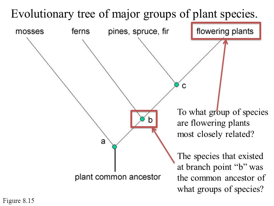 Evolutionary tree of major groups of plant species.