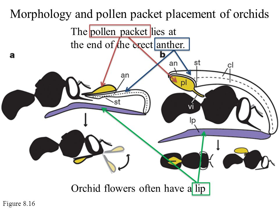Morphology and pollen packet placement of orchids