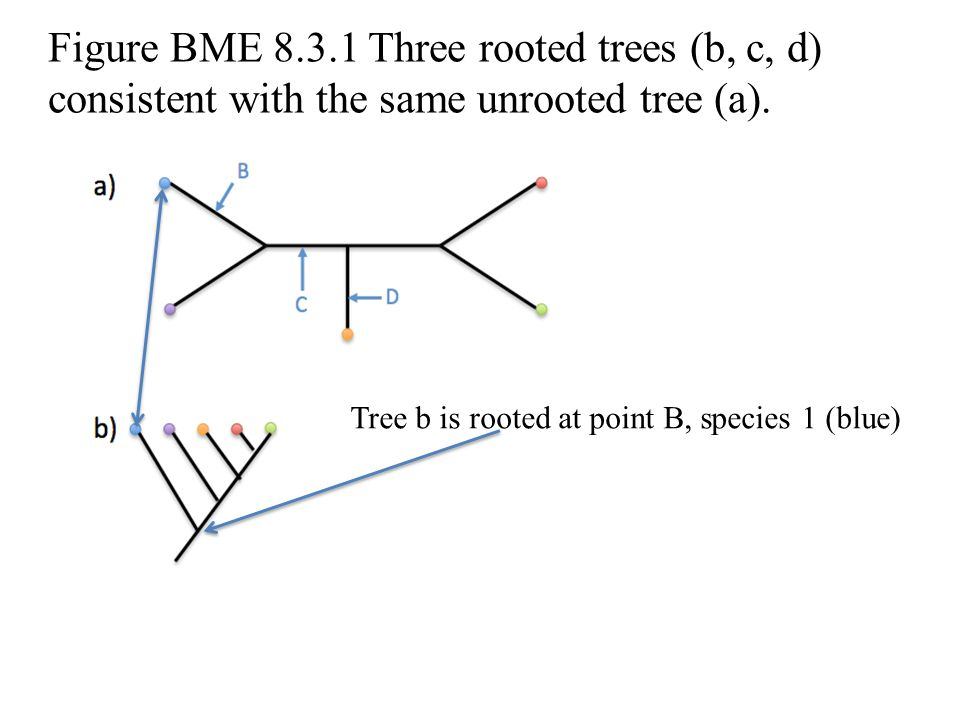 Figure BME 8.3.1 Three rooted trees (b, c, d) consistent with the same unrooted tree (a).