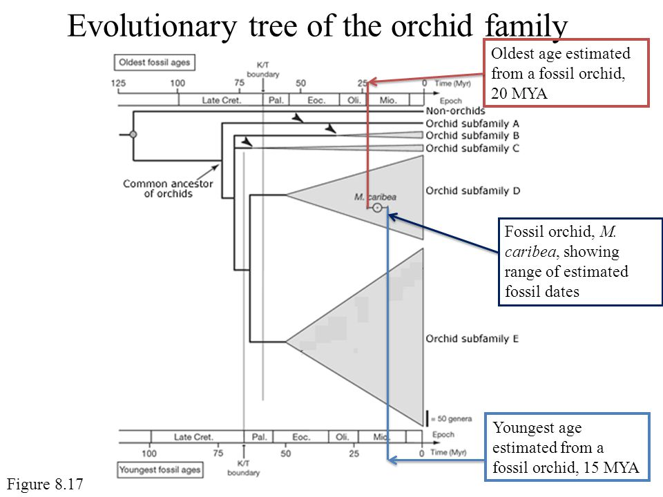 Evolutionary tree of the orchid family