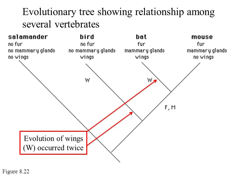 Evolution of wings (W) occurred twice
