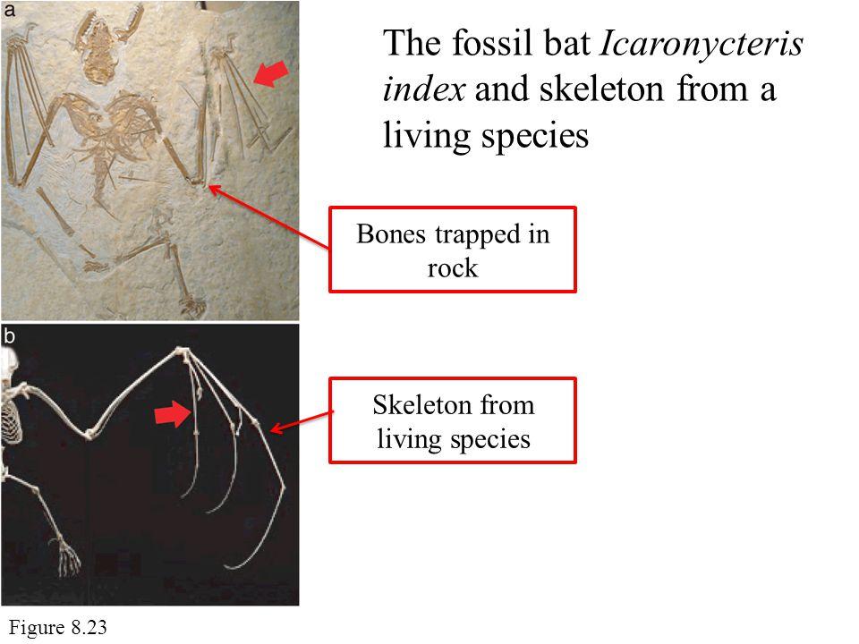 Skeleton from living species