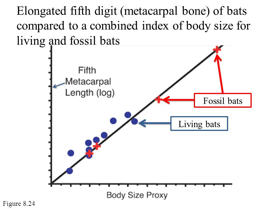 Elongated fifth digit (metacarpal bone) of bats compared to a combined index of body size for living and fossil bats