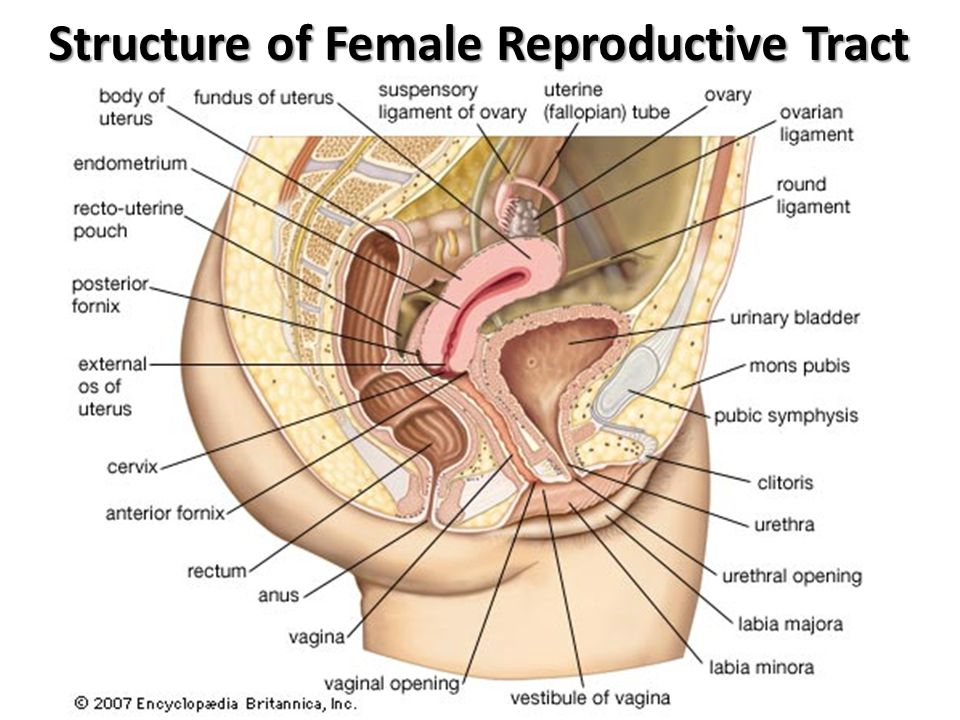 Structure of Female Reproductive Tract