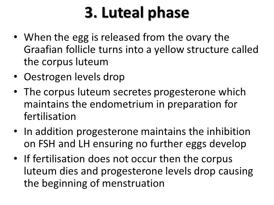 3. Luteal phase When the egg is released from the ovary the Graafian follicle turns into a yellow structure called the corpus luteum.