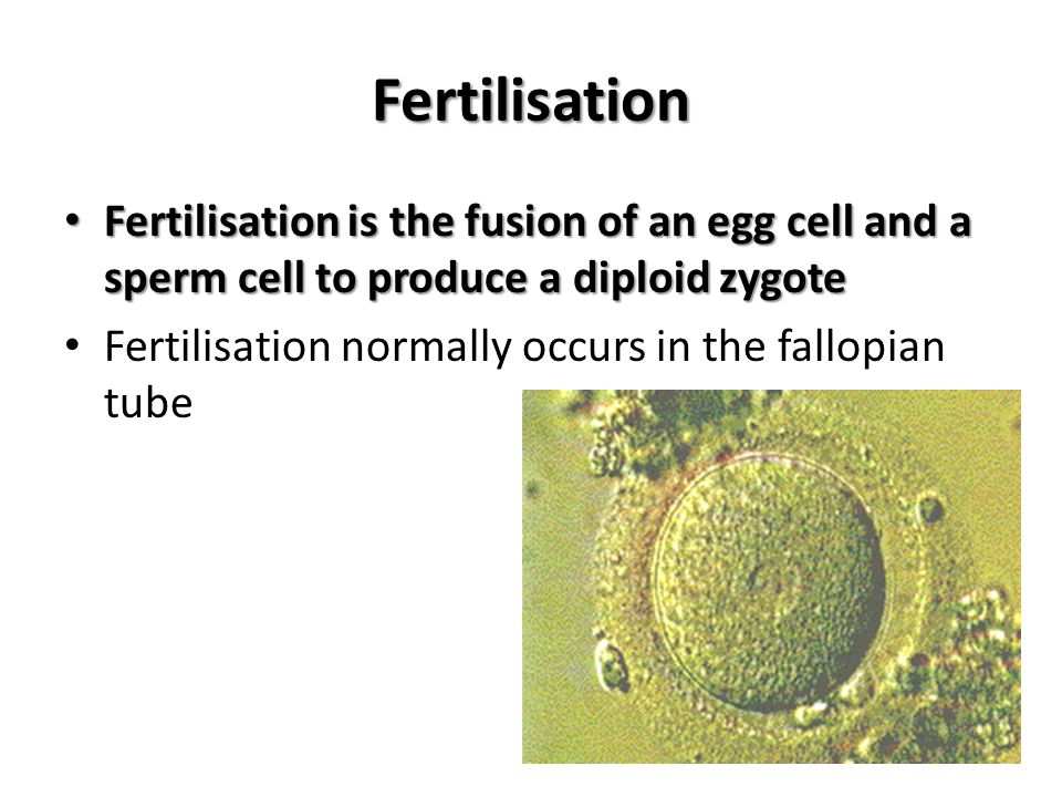 Fertilisation Fertilisation is the fusion of an egg cell and a sperm cell to produce a diploid zygote.