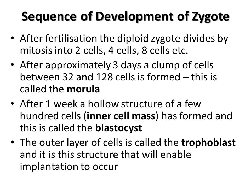 Sequence of Development of Zygote