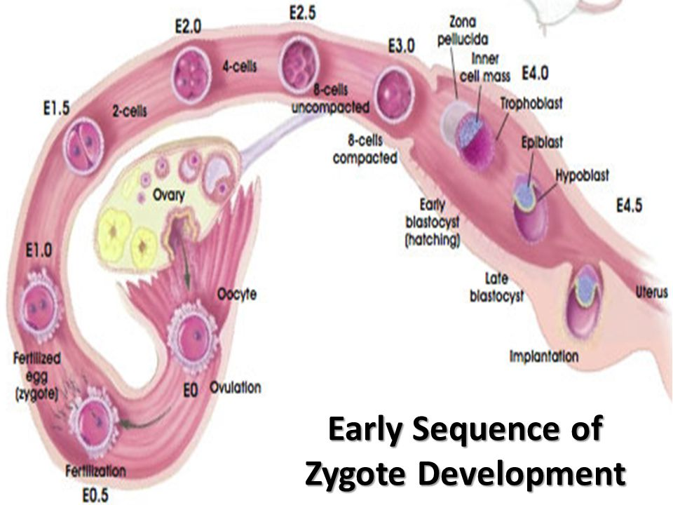 Early Sequence of Zygote Development