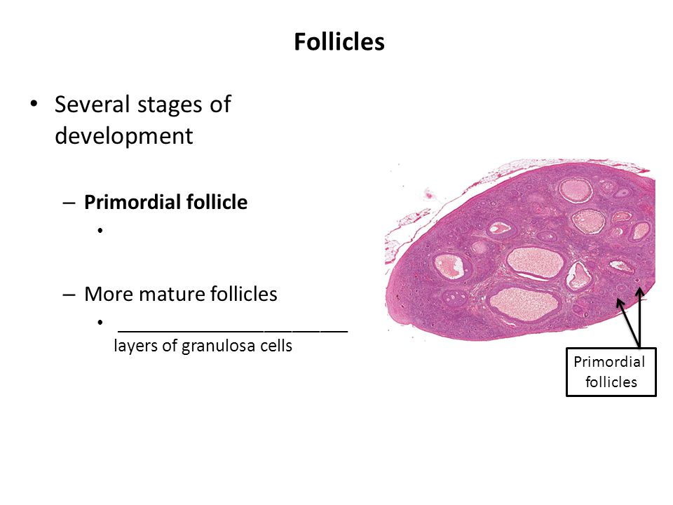 Follicles Several stages of development Primordial follicle
