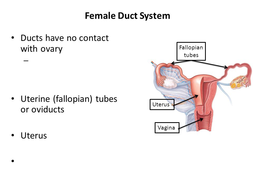 Female Duct System Ducts have no contact with ovary