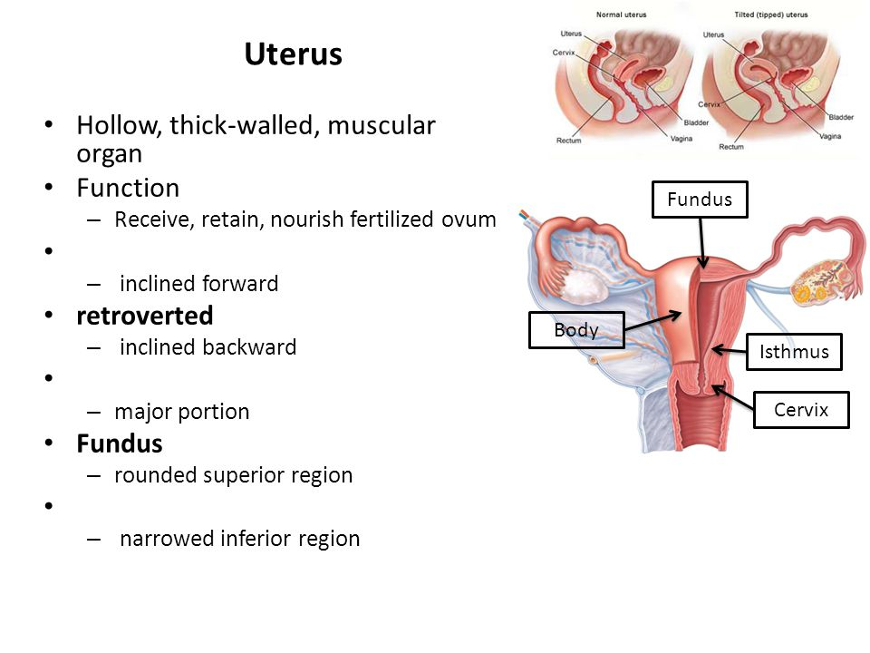 Uterus Hollow, thick-walled, muscular organ Function retroverted