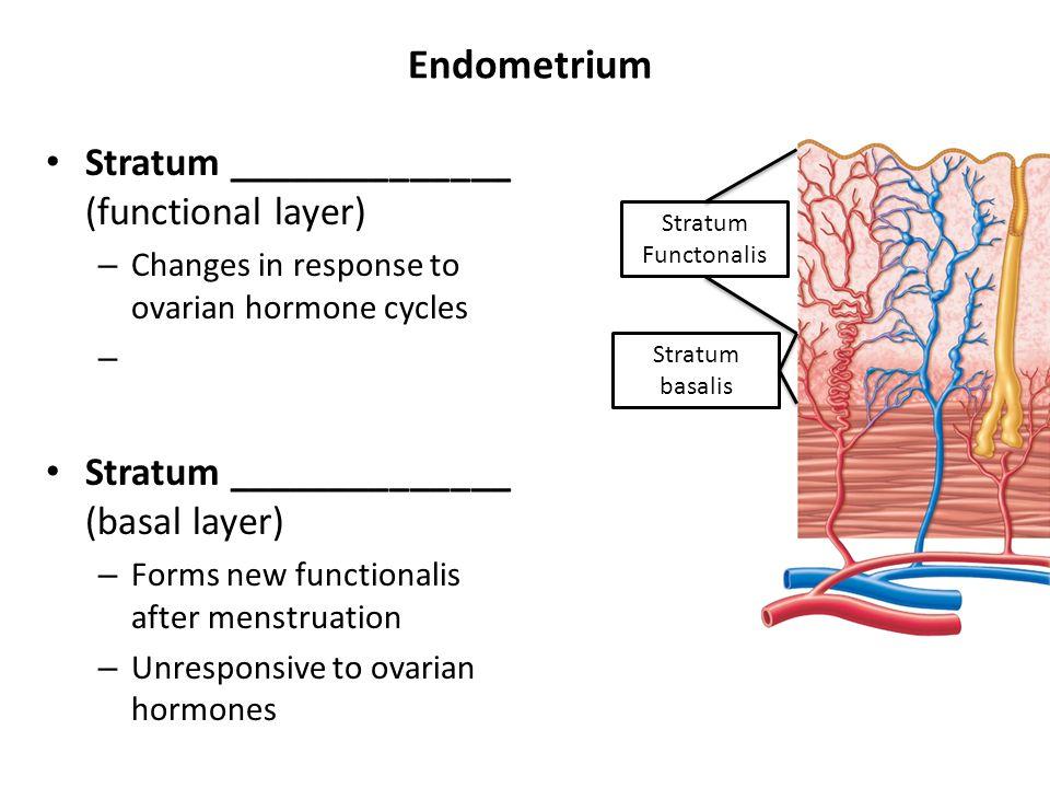 Endometrium Stratum ______________ (functional layer)