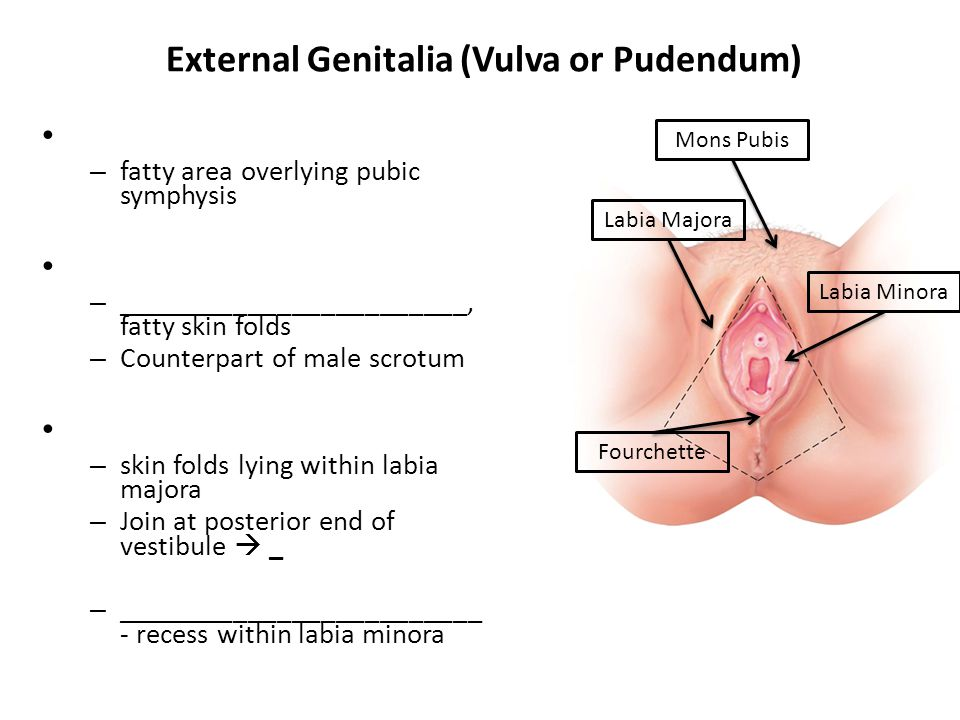 External Genitalia (Vulva or Pudendum)