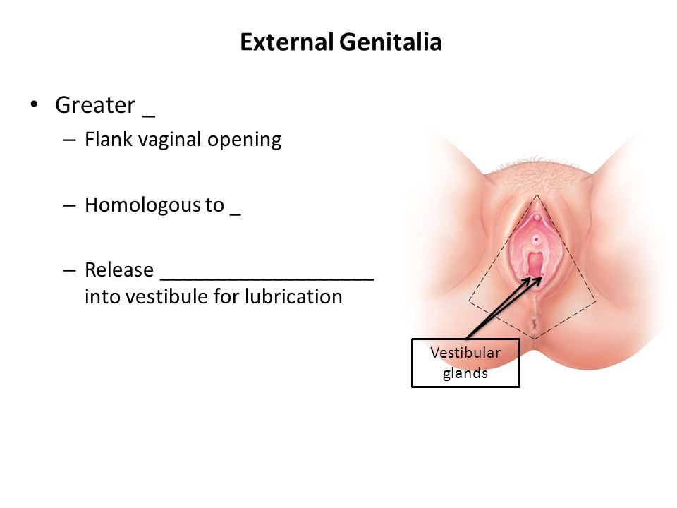 External Genitalia Greater _ Flank vaginal opening Homologous to _