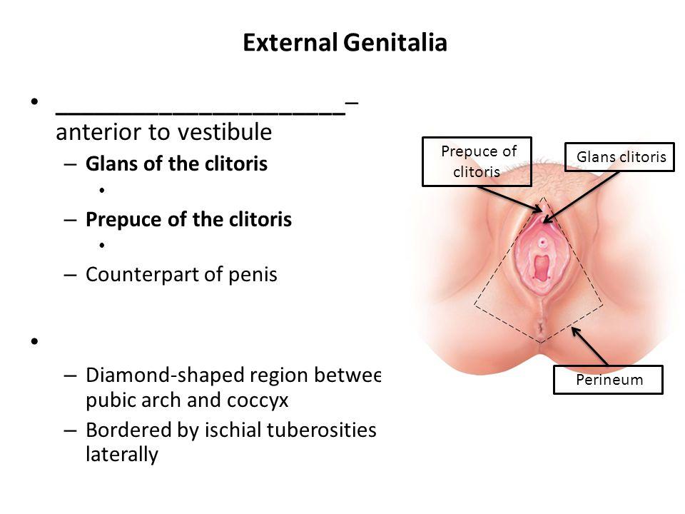 External Genitalia ______________________– anterior to vestibule