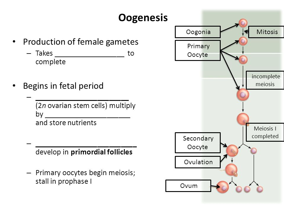 Oogenesis Production of female gametes Begins in fetal period