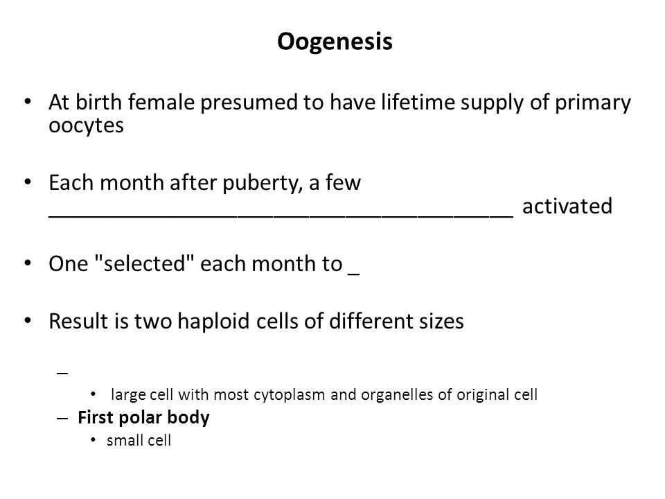 Oogenesis At birth female presumed to have lifetime supply of primary oocytes.