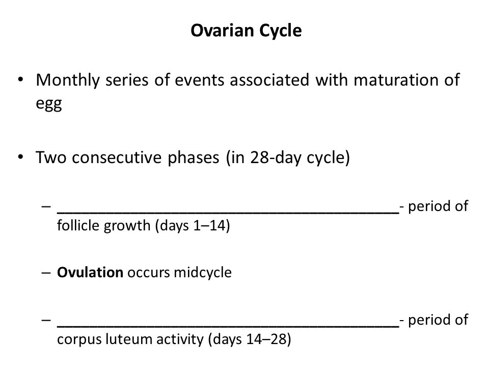 Ovarian Cycle Monthly series of events associated with maturation of egg. Two consecutive phases (in 28-day cycle)