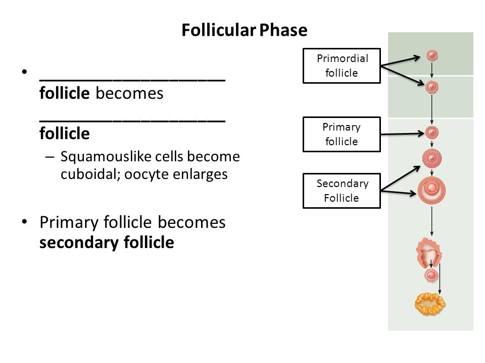 Follicular Phase Primordial follicle. ____________________ follicle becomes ____________________ follicle.