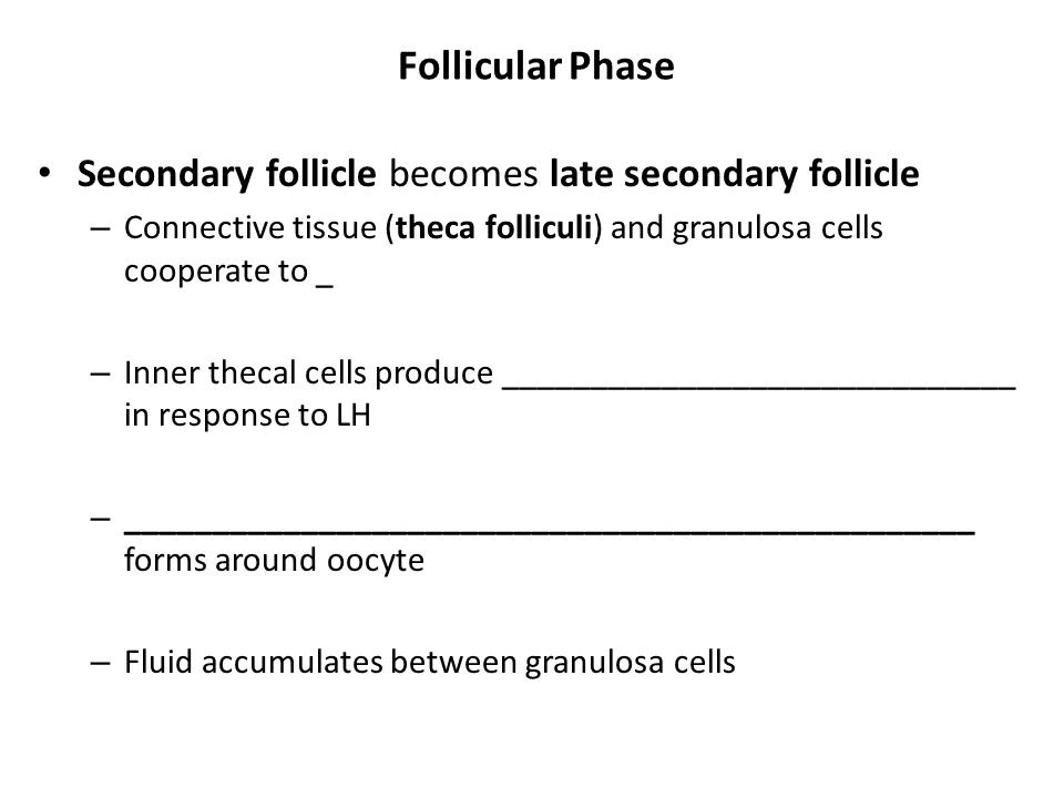 Follicular Phase Secondary follicle becomes late secondary follicle