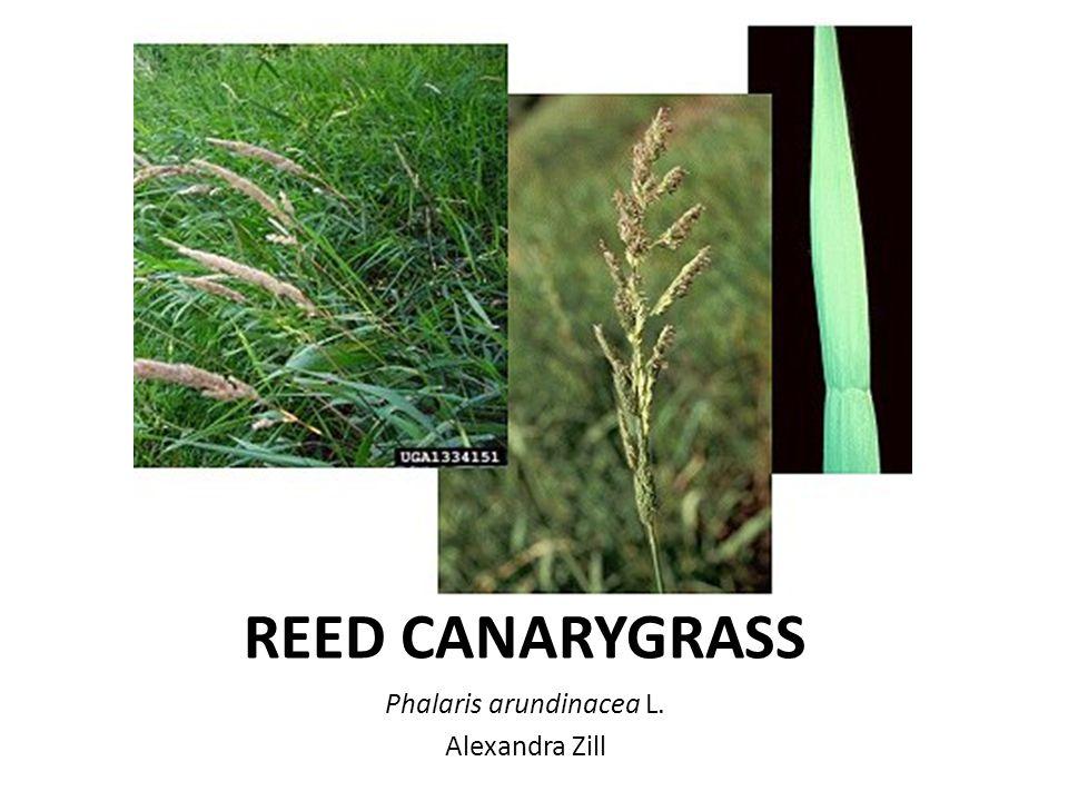 Identify Phalaris Arundinacea