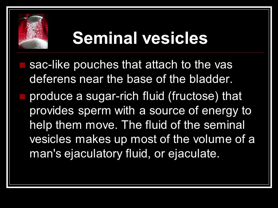 Seminal vesicles sac-like pouches that attach to the vas deferens near the base of the bladder.